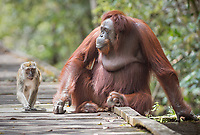 Portait of a wild, female Bornean orangutan (Pongo pygmaeus) sitting on boardwalk with a long-tail macaque ( Macaca fascicularis) Tanjung Puting National Park, Borneo, Indonesia.