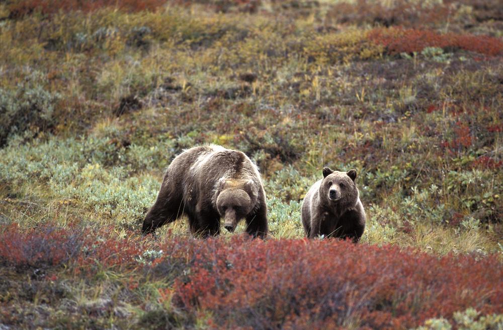 Grizzly Bear, Ursus arctos,front view in Alaska wilderness