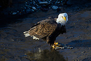 Wintering Bald Eagle, North Fork of Nooksack River, Deming, Washington
