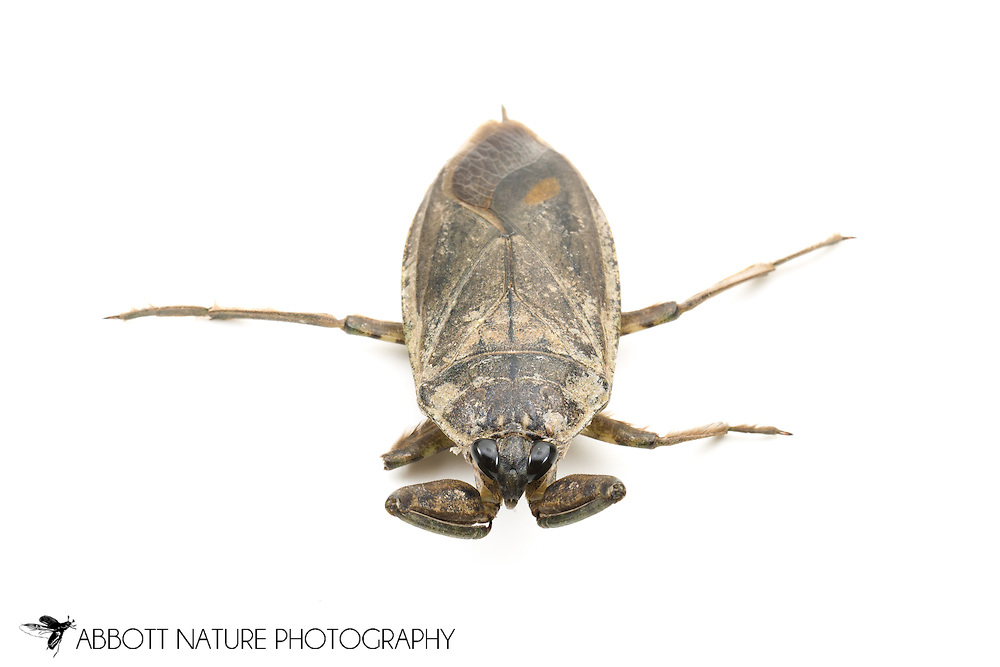 Giant Water Bug (Lethocerus americanus)<br /> OREGON: Lake Co.<br /> Junipers Reservoir RV Park at Lake View<br /> 17-Jun-2012  42.196287, -120.538216<br /> J.C. Abbott #2606 &amp; K.K. Abbott