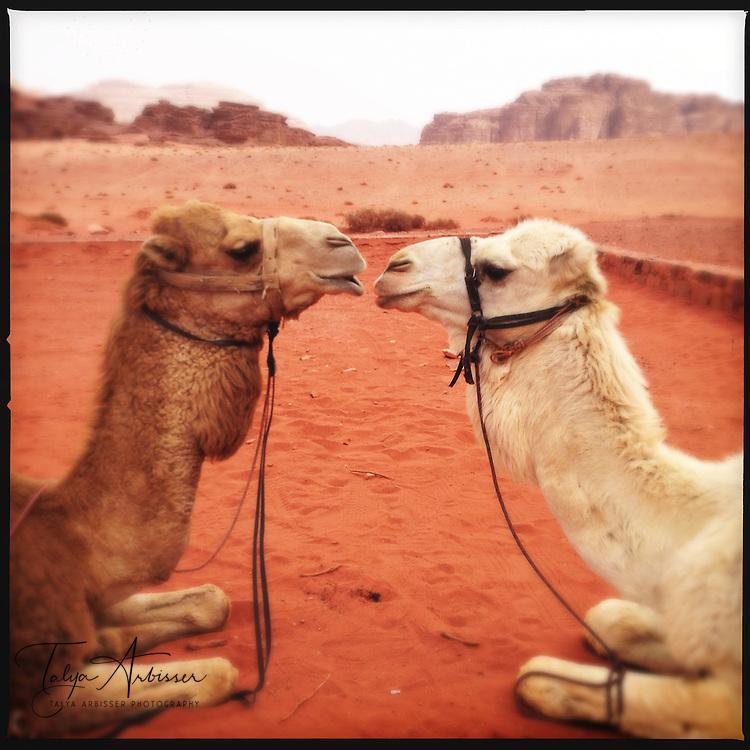 Camel love - Wadi Rum, Jordan