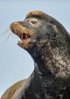 California Sea Lion (Zalophus californianus) close-up of head, Fanny Bay , British Columbia, Canada   Photo: Peter Llewellyn
