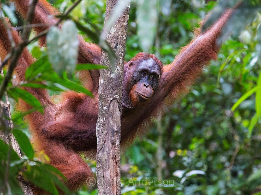 Sub-adult male Bornean orangutan (Pongo pygmaeus), Sarawak, Malaysia