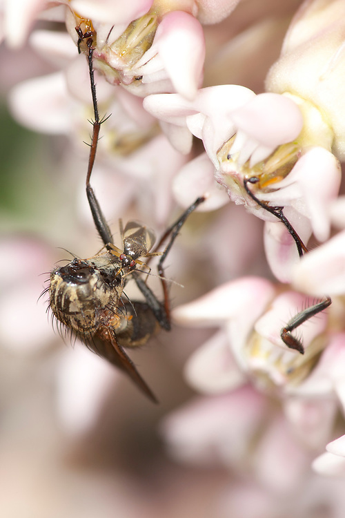 Obscure Plant Bug (Plagiognathus obscurus), taking advantage of a dead fly. The fly was trapped by the milkweed flower's pollinia (sticky pollen containing structures), and beheaded by a Harvestman spider which fed on it just prior to the Obscure Plant Bug's visit.