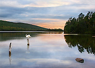 A Swan On A Pylon In Lake Bailey Near Eagle Harbor, Upper Peninsula Michigan, USA, Photo Composite : Low Res File - 8X10 To 11X14 Or Smaller, Larger If Viewed From A Distance