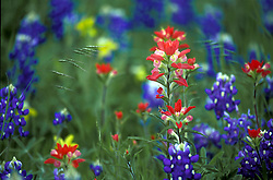 Texas Bluebonnets and Indian Paintbrushes in Field