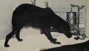 Pavlov's (1849-1936) studies on acquired reflexes, 1901.
