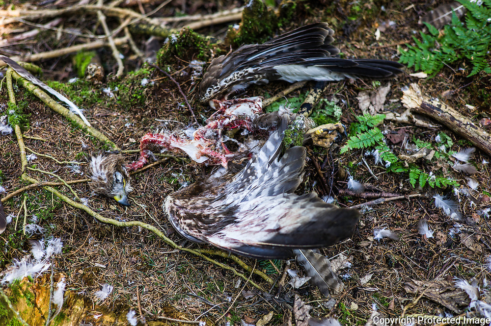 A dead buzzard that has been plucked and eaten found in woodland. Most probably killed by a Goshawk.