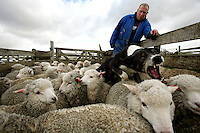 Keith Alazia, 35, looks on and his dog helps to round up sheep in Goose Green, in the Falkland Islands, on Friday, March 23, 2007. This year is the 25th anniversary of the war for sovereignty of the islands between the United Kingdom and Argentina. The two-month war resulted in the withdrawal of Argentinean forces and the islands remained part of the United Kingdom. After the war on the islands there has been strong economic development. (Photo/Scott Dalton)