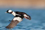 Bufflehead, Bucephala albeola, male, Shiawassee River, Saginaw County, Michigan