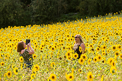 © Licensed to London News Pictures. 05/08/2020. CHORLEYWOOD, UK.  Women take a photos amongst sunflowers on a warm, sunny day which are currently in full bloom, growing in a wheat field, near Chorleywood in Hertfordshire.  The forecast is for much temperatures exceeding 30C by the end of the week..  Photo credit: Stephen Chung/LNP