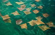 Golden (Mustard) Rays in a large school<br /> Rhinoptera steindacheri<br /> Isabela Island<br /> Galapagos Islands<br /> ECUADOR.  South America