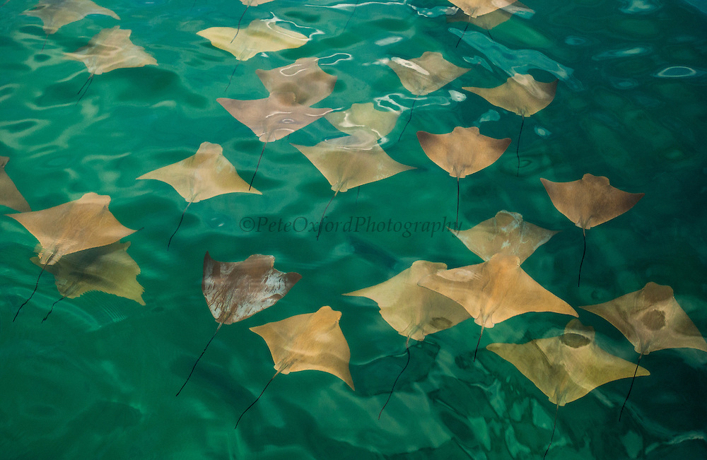 Golden (Mustard) Rays in a large school<br /> Rhinoptera steindacheri<br /> Isabela Island<br /> Galapagos Islands<br /> ECUADOR.  South America