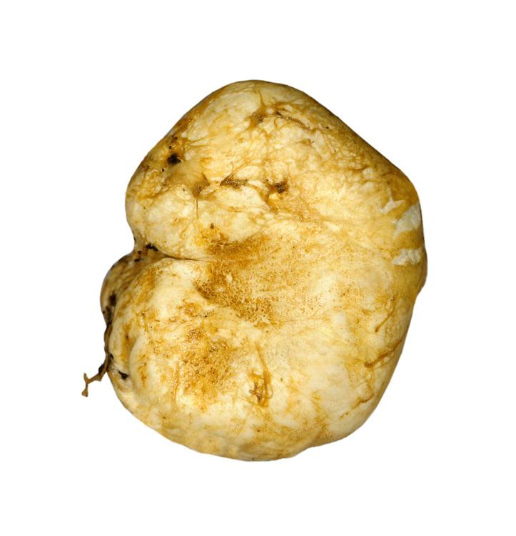 yellow false truffle<br /> Rhizopogon luteolus