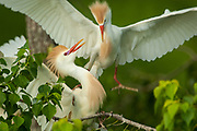 Male Cattle Egret Returing to Nest
