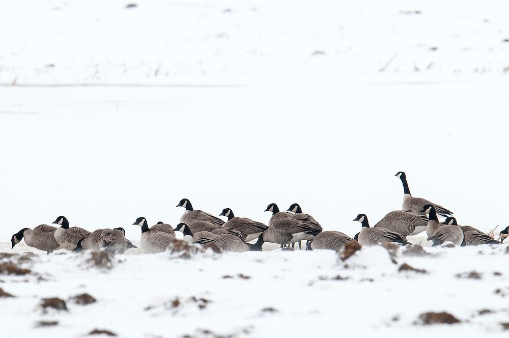 Cackling Geese, Branta hutchinsii, feeding on manure,  Brown County, South Dakota