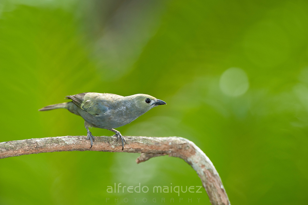 Palm tanager (Thraupis palmarum), Soberania National Park, Panama, Central America