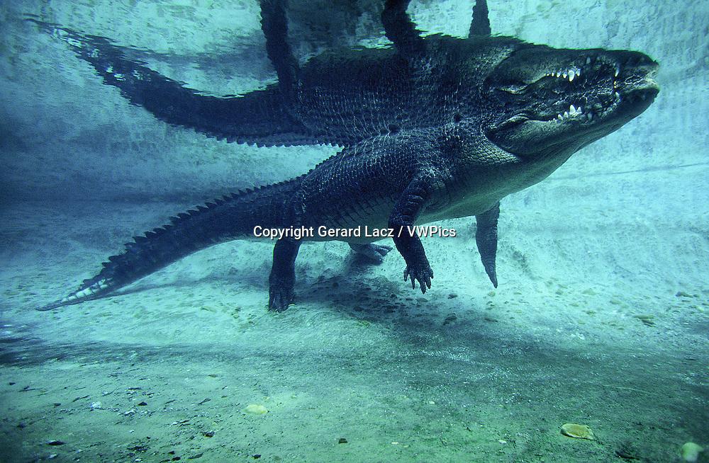 Australian Saltwater Crocodile or Estuarine Crocodile, crocodylus porosus, Adult standing in Water, Australia
