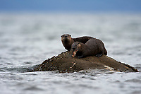 Common Otter (Lontra canadensis) AKA Northern River Otter - feeding on flat fish,  Qualicum Beach , British Columbia, Canada