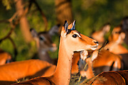 Close up of a female Impala (Aepyceros melampus). Photographed in Tanzania