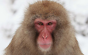 Snow monkey closeup