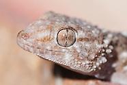 Lizards, Agamas, Monitor Lizards, Geckos