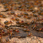 Nasute termites (Hospitalitermes sp) in Huai Kha Khaeng Sanctuary, Thailand. Unique among termites are the soldiers of the Nasutitermes genus. These are not armed with mandibles but a syringe like contraption which squirt out a sticky pungent smelling liquid that immobilizes ants. This defense mechanism is so effective against ants that sub genus of Nasutitermes lived in unsealed nest and forages in long open columns unmolested by their main enemy, ants.