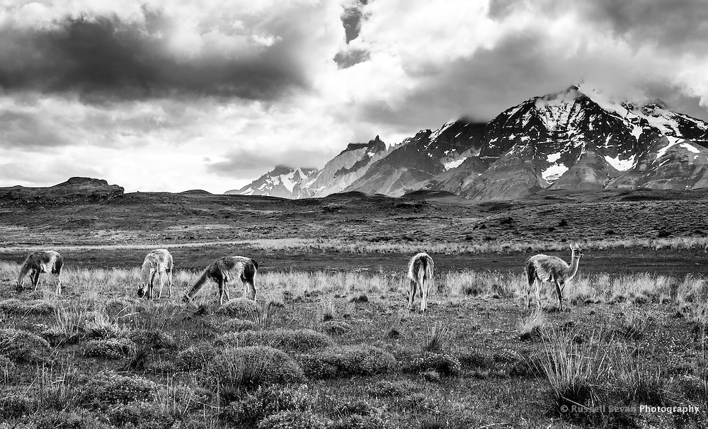 Guanacos graze in the area known as the pumas kitchen with the Cordillera del Paine in the background.