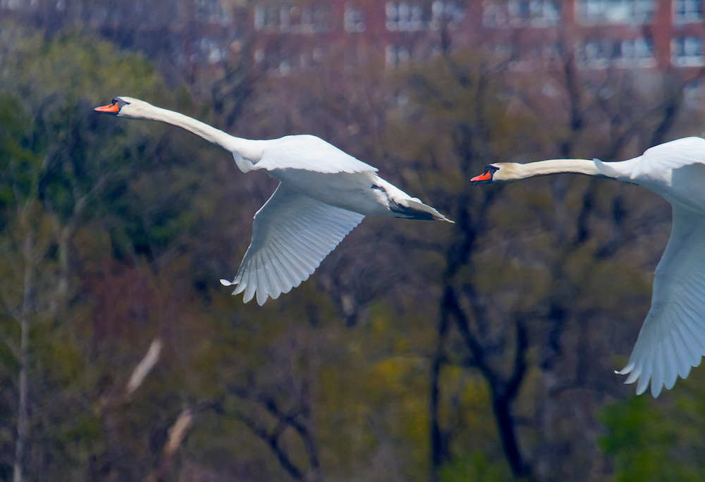 Two huge mute swans in flight over Prospect Park lake. They fly like airplanes.