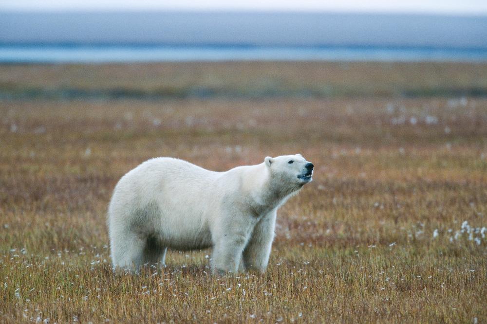 Manitoba, Churchill, Canada. Polar bear on tundra.
