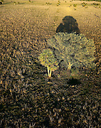 Aerial of tow trees casting afternoon shadow on the open plains in central Florida.