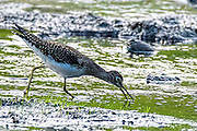 Solitary Sandpiper - Tringa solitaria foraging for food on the edge of the Nemasket River, at Oliver Mill Park, Middleborough, Massachusetts