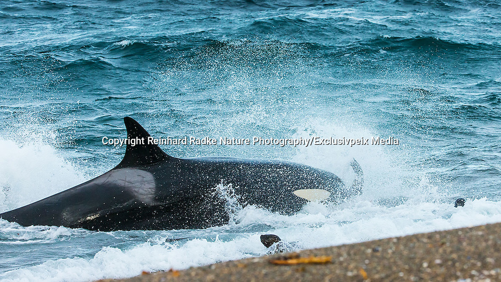 "STUNNING IMAGES CAPTURE ORCAS AS THEY DRIVE UP ON TO BEACH TO HUNT FOR SEA LION'S<br /> <br />  The hunts were taken at Valdés peninsula, Punta Norte. There are some beaches at Valdés, where very few orca whales are adapted to ""voluntary beaching"" to get close enough to young sea lions, which play in the shallows. This is a dangerous undertaking for the whales, too. If they can't get back to deeper water they might die. Two incidents of a whale being saved by people occurred here. They spilled water over them while they were stuck, not to have them drying out. Next hightide freed them. At any given time there were less than 10 individuals capable of performing this art of hunting! Presently, this number might be a little higher. Voluntary beaching was recorded first in the seventies last century in that area. It is most probably the only area, where whales learned this technique. There are only few scattered records of this behavior from one place in the Indian Ocean, but that is not scientifically confirmed. So this is a very rare behavior in whales and it is a good example of the intelligent way these animals react to their environment.<br /> ©Reinhard Radke Nature Photography/Exclusivpeix Media"