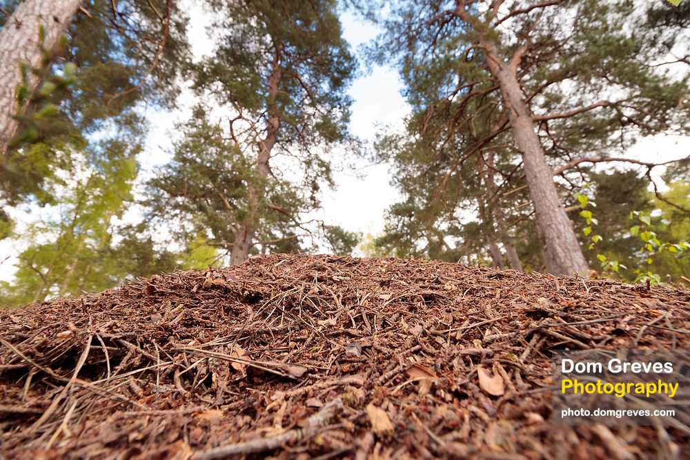 Wood ant nest (Formica rufa) at woodland edge. Surrey, UK.