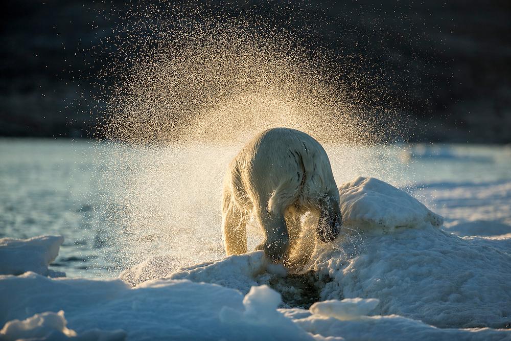 Canada, Nunavut Territory, Polar Bear (Ursus maritimus) shakes off water while climbing onto iceberg at sunset in Frozen Strait near Arctic Circle along Hudson Bay