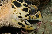 Hawksbill Sea Turtle, Eretmochelys imbricata, feeds on a sponge offshore Palm Beach County, Florida, United States
