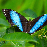 The Achilles Blue Morpho butterfly, Blue-banded Morpho butterfly or Banded Blue Morpho butterfly is a Neotropical butterfly.  The Achilles Blue Morpho butterfly has black wings with two bright blue bands on their top wings.  The underside of their wings is brown with blue, yellow and red circles which look like eyes.