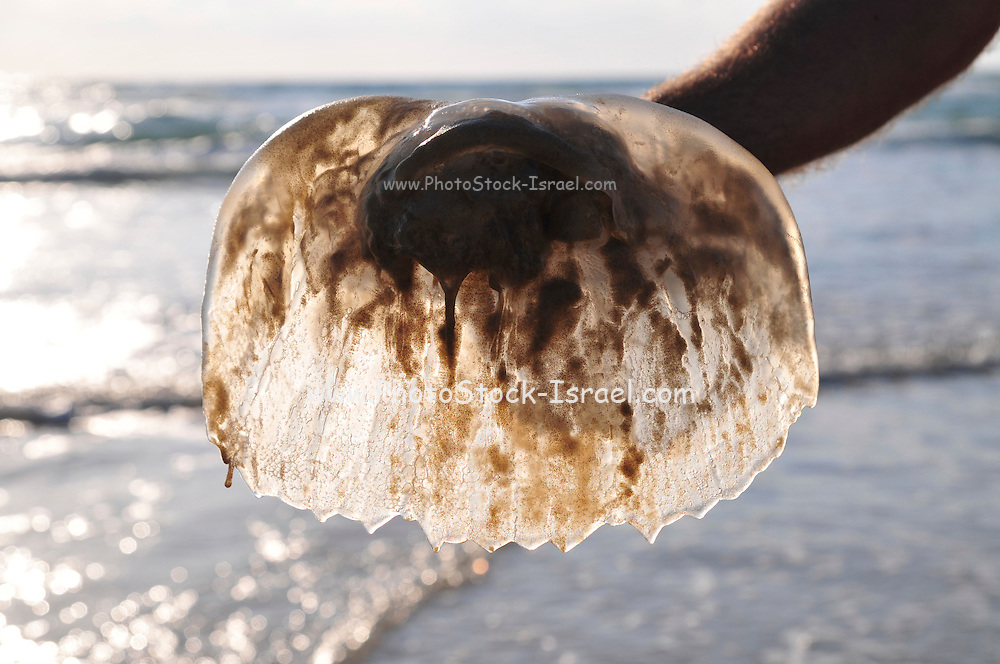 Israel, Mediterranean Sea, Rhopilema nomadica Jellyfish (a toxic Indo-Pacific variety recently migrated the Mediterranean Sea) on the beach. This jellyfish has caused much anguish to bathers and holiday makers