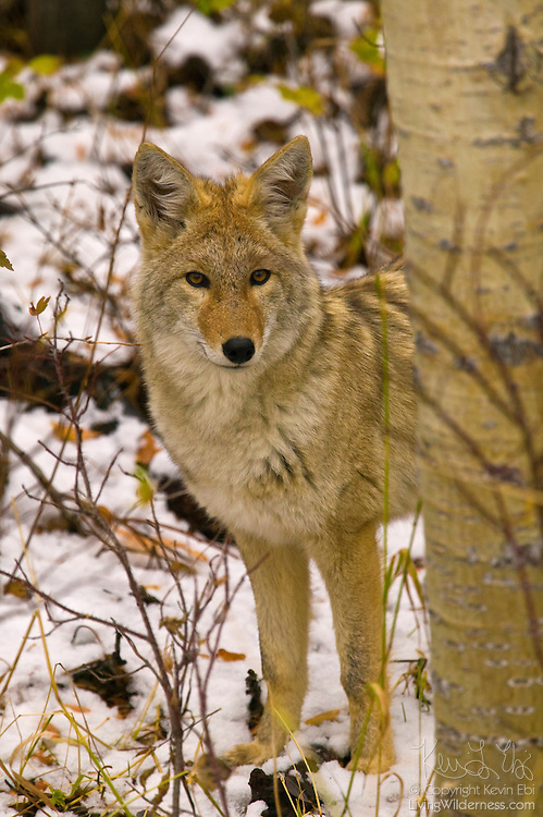 A coyote looks out from the snow-covered forest south of Glacier National Park, Montana.