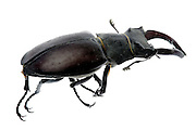 dead stag beetle insect