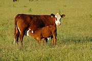 Mutterkuh mit Kälbchen. Die Mutterkuh ist eine Angus Kreuzung. Aufgenommen in der Halboffenen Weidelandschaft oder Hudelandschaft in Crawinkel.