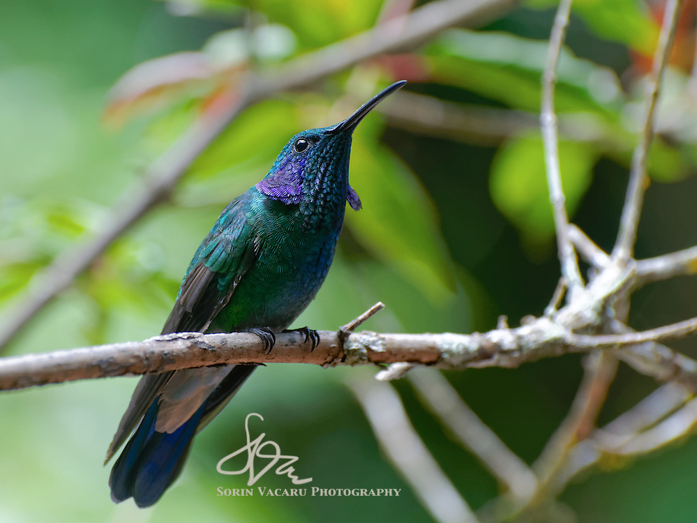 Green Violetear Hummingbird staring down an intruder