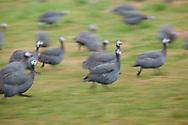 Guinea-fowls in Gourdon, Lot department, Occitanie, France