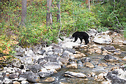 A Black Bear crossing a stream in Grand Teton National Park