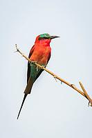 Carmine Bee-Eater , Chobe River, Kasane, Botswana.