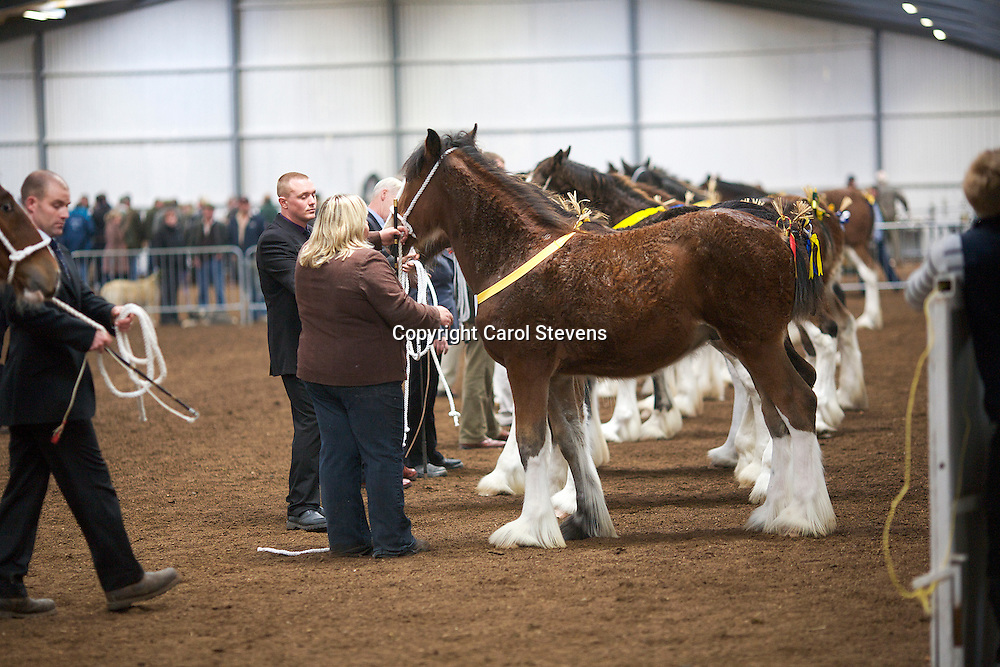 North West and Wales Shire Foal Society <br /> Show 2012<br /> Mr R Brewster's Castle Buscot<br /> f   29/01/12<br /> Sire   Dothjan Buscot<br /> Dam   Acle Fortune