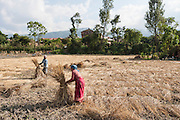Collecting hay into bundles in Nepal. 80% of the Nepali population work in agriculture and it provides approximately 40% of GDP. Nepal remains one of the poorest countries in Asia with a per capita GDP of $1200.