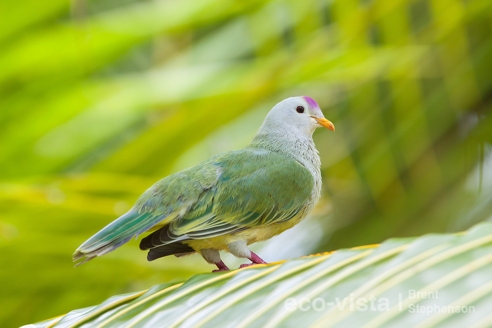 Atoll fruit-dove (Ptilinopus coralensis) perched on a palm frond against a green background. Takapoto, Tuamotus, French Polynesia. November. Near threatened.