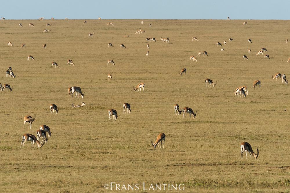Thomson's gazelles grazing, Eudorcas thomsonii, Serengeti National Park, Tanzania