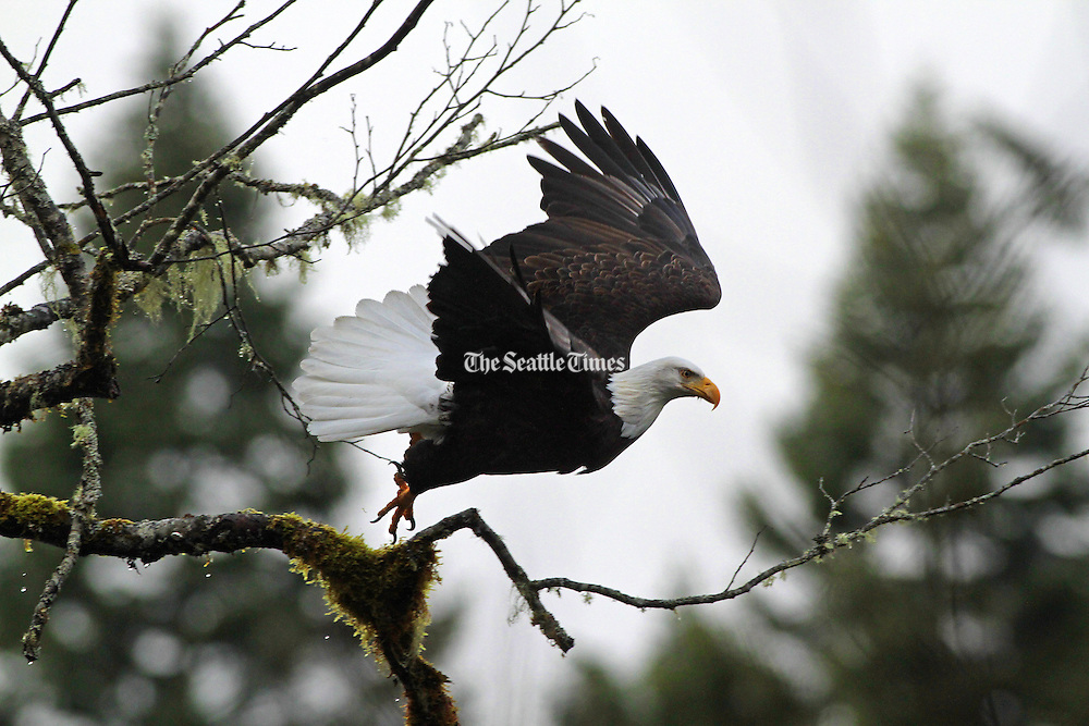 A mature bald eagle leaves it's mossy perch above the Skagit River near Marblemount. <br />